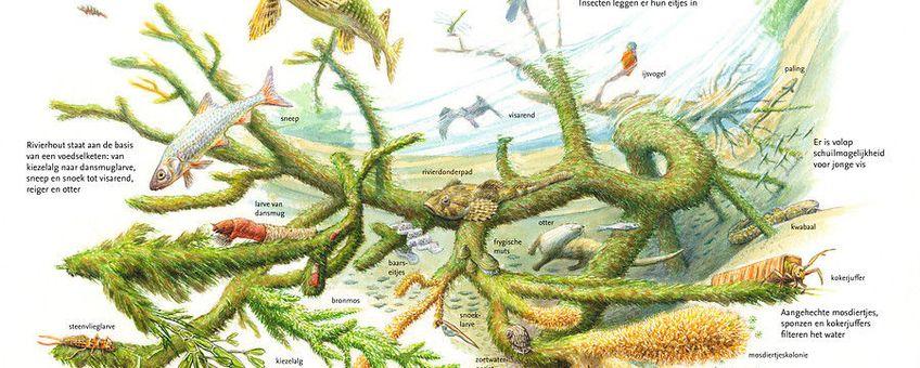 Sleutelrol van rivierhout in de natuur