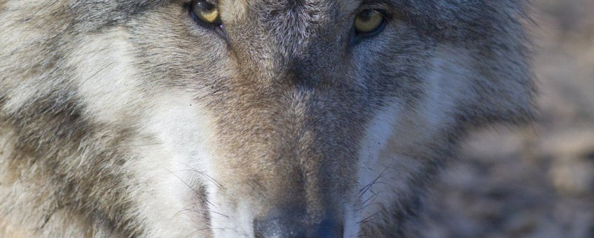 Canis lupus. Wolf