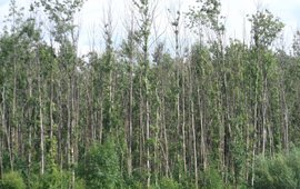 Essentaksterfte bos, Fraxinus excelsior es