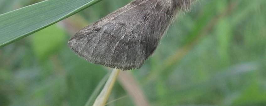 Net uitgekomen vrouwtje eikenprocessierups in gras