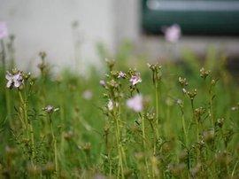 Pinksterbloemen; We hebben toestemming deze foto te gebruiken (www.picturetrail.com/theowestra)