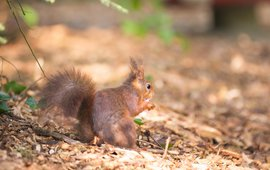 sprookjesbos eekhoorn - lead