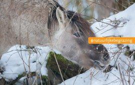 Konikpaard in wintervacht