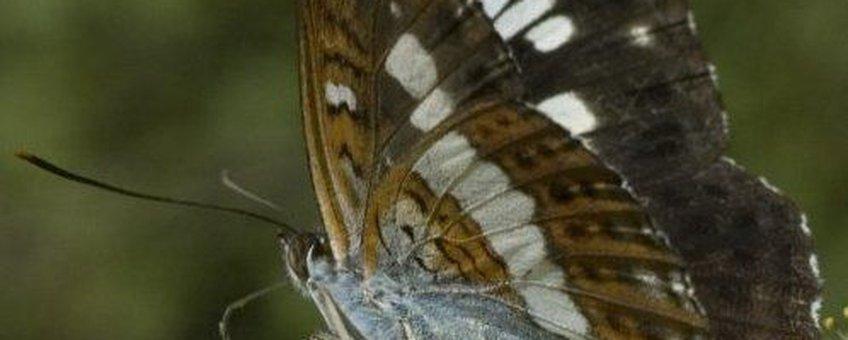 Limenitis camilla. Kleine ijsvogelvlinder