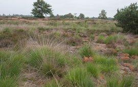 Groote Heide, Noord-Brabant. Niet-geplagde heide