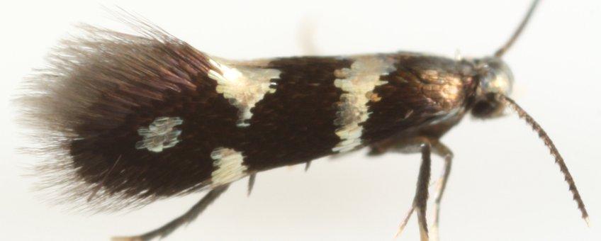Aspilanta ampelopsifoliella female