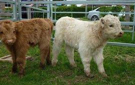 Schotse hooglander, kalfjes, roodbruin en blond.