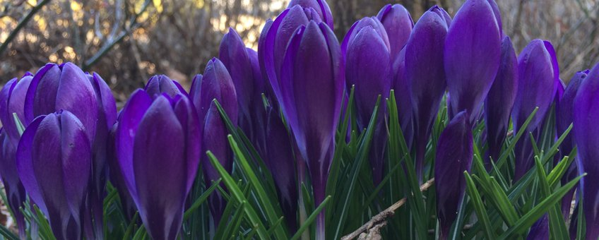 Paarse krokus in volle bloei in Ede op 14 maart 2018