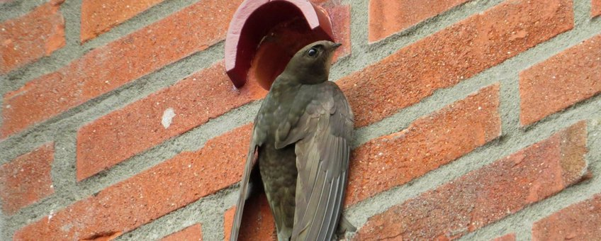 Common Swift. Gierzwaluw. Apus_apus. Clinging to wall