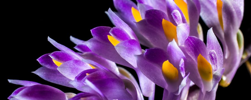 Orchidee, Orchid