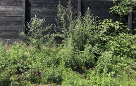 Bijvoetplanten voor schutting