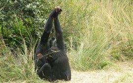 Handclasping chimpanzee