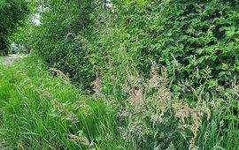 Bloeiend gras aan een slootkant Woudenberg