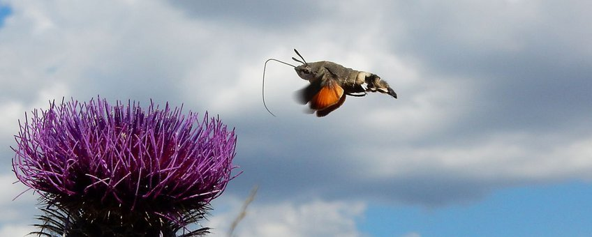 kolibrievlinder primair