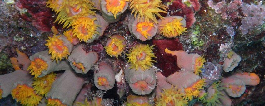 Caraibisch koraal
