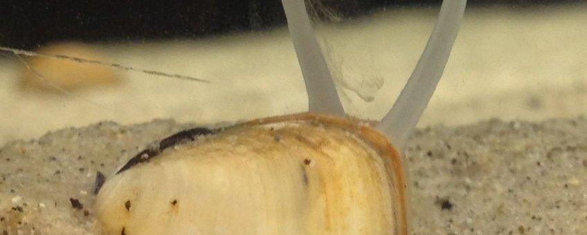 Gedeeltelijk ingegraven nonnetje (Macoma balthica) met uitgestoken sifo's. De rechter sifo is de zuigsifo waarmee het diertje voedsel opneemt. De linker sifo fungeert als uitlaat