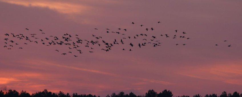 Trekkende Kraanvogels