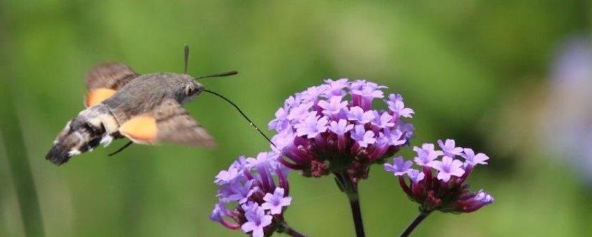 Kolibrievlinder - eenmalig gebruik
