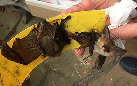 Twee vleermuizen als slachtoffer van een lijmband
