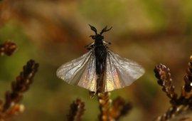Mannetje van het zandbijwaaiertje (Stylops melittae), de waaiervormige vleugels zijn duidelijk zichtbaar.
