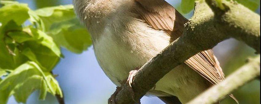 Nachtegaal. Luscinia megarhynchos. licentie: CC BY-SA 3.0