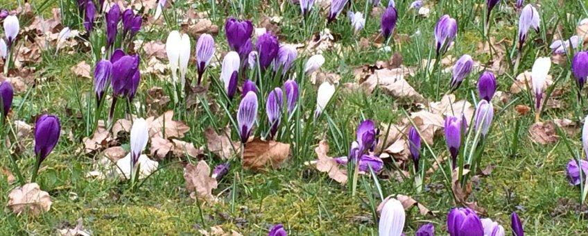 Krokusjes volle bloei