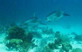 Dolphins around Bonaire