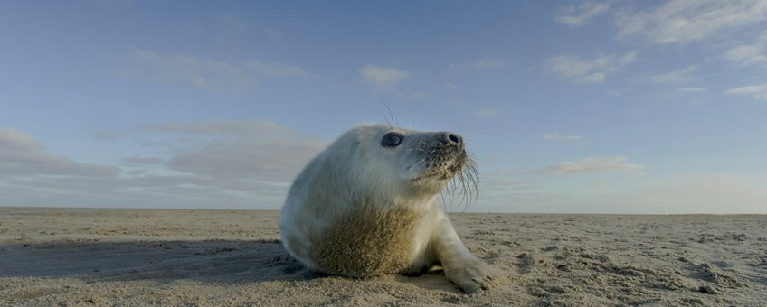 grijze zeehondpup van ca. twee weken oud