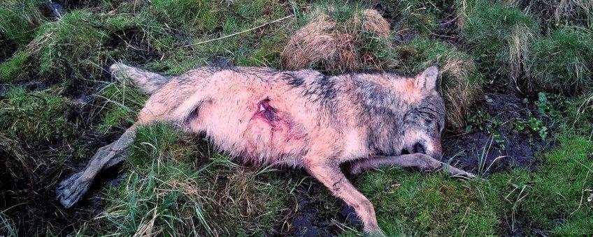 neergeschoten wolf Westerwald