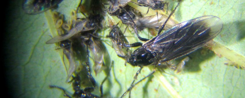 Gewone rouwvliegen op bladluis