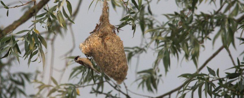 De buidelmees, één van de soorten die terug is in Rijnstrangen dankzij het rietherstel.