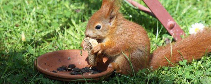 jonge oranje eekhoorn eet brood