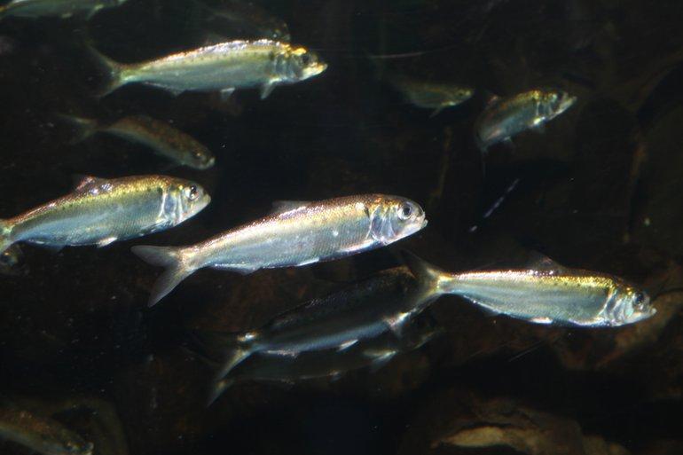 Elften zijn zeldzame trekvissen die voor hun voortplanting moeten kunnen zwemmen tussen zoet en zout water