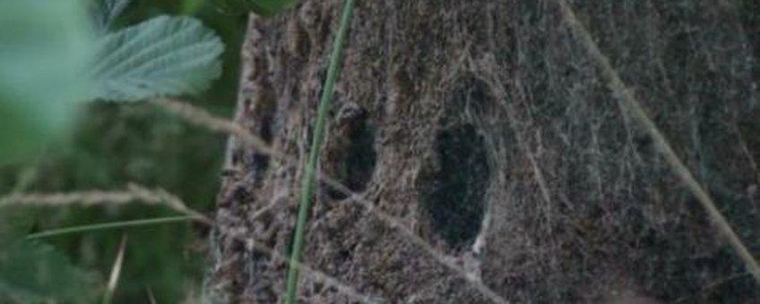 Eikenprocessierups nest