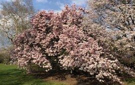 Magnolia , bloei Belmonte 30-3-2019