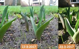 Tulpen in Uitgeest