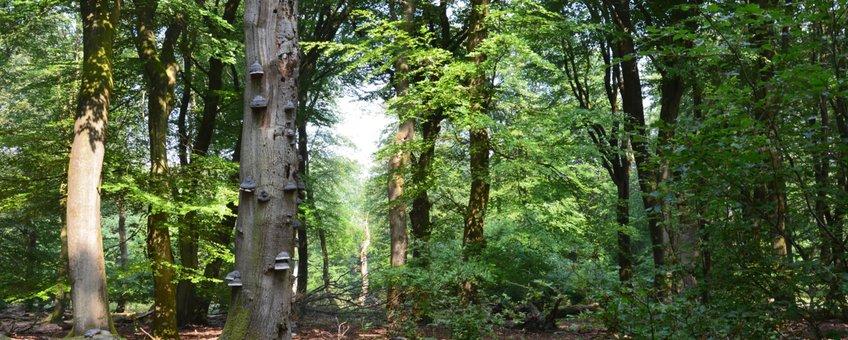Dood hout zorgt voor biodiversiteit