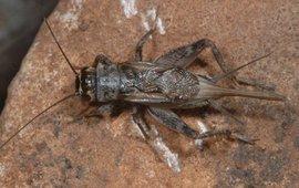 Spoorkrekel Eumodicogryllus bordigalensis uit Griekenland