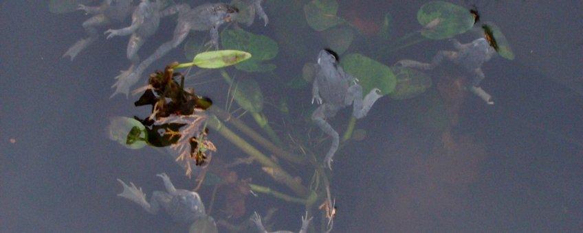 dode opgeblazen bruine kikkers drijvend in de vijver