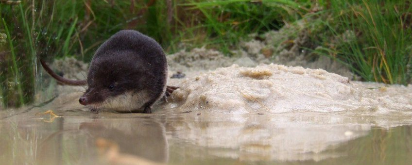 Neomys fodiens. Waterspitsmuis