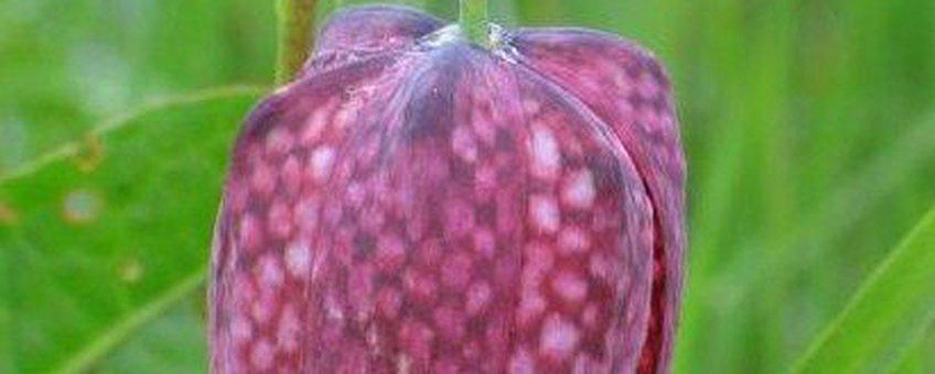 Fritillaria meleagris. Kievitsbloem