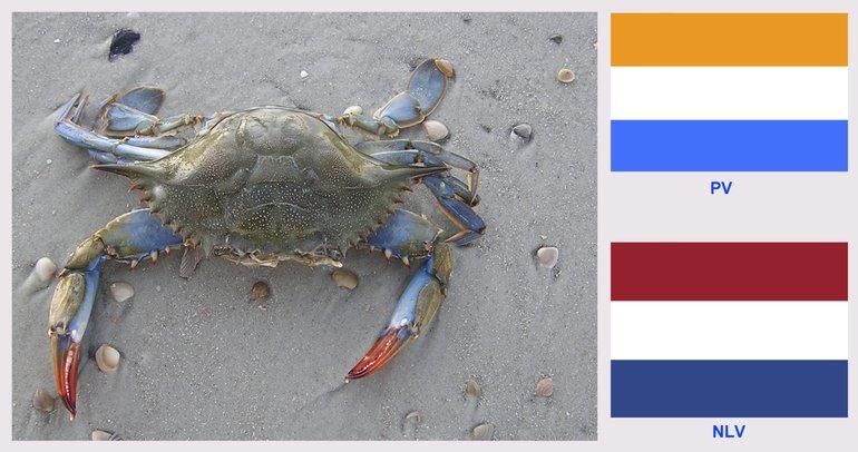 Blauwe zwemkrab uit Amerika met een connectie met Nederland. Links: vrouwtje met oranjerode scharen, USA, Little Talbot Island, Florida, 10/15/2004. Rechtsboven: de oude Prinsenvlag (PV); rechtsonder: huidige Nederlandse vlag (NLV)