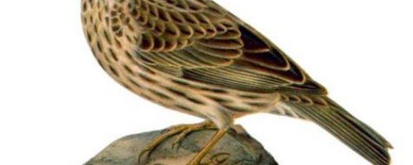 Grauwe gors,  (1822 - 1906). Scanned from Svenska fåglar