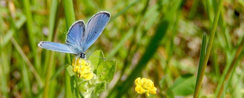 staartblauwtje dagvlinderjaar 2016 - primair
