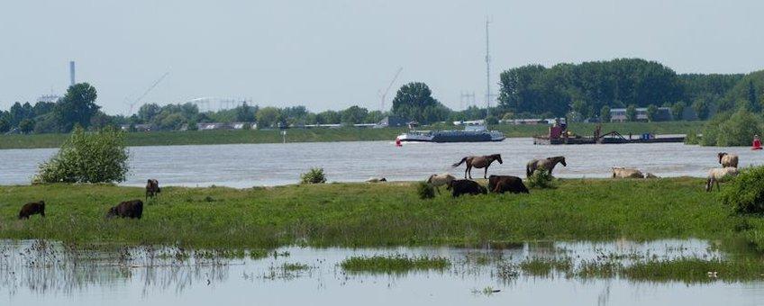 Hoog water Waal koniks en galloway runderen eiland Erlecomse Waard