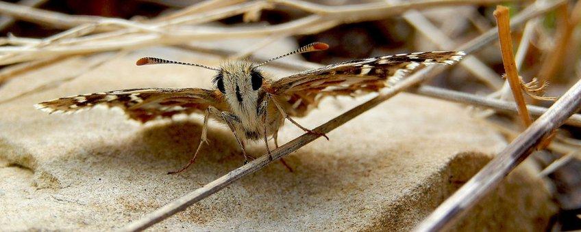 aardbeivlinder - primair