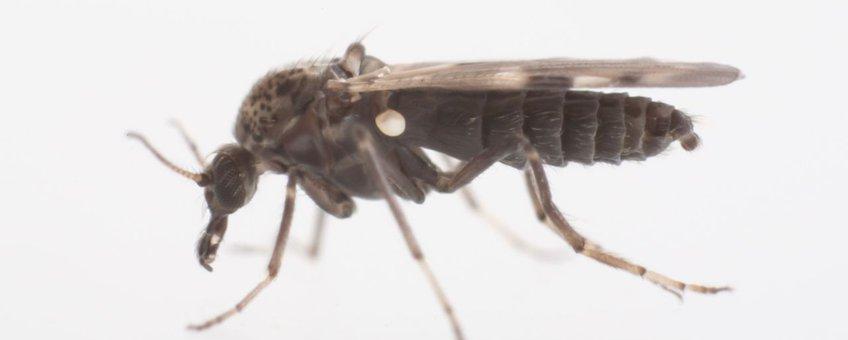 De knut Culicoides nubeculosus, één van de ongeveer 20 soorten knutten die in Nederland voorkomt. Duidelijk zichtbaar zijn de bijtende monddelen