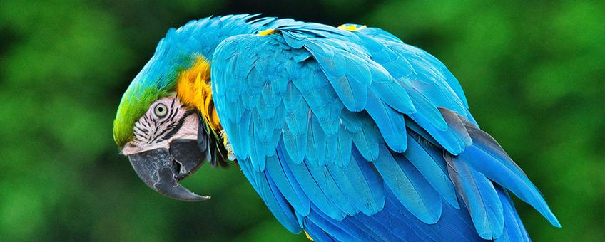 Blauwkeelara (let op: naam fotograaf staat in spiegelbeeld)