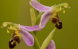 Bijenorchis (Ophrys apifera).