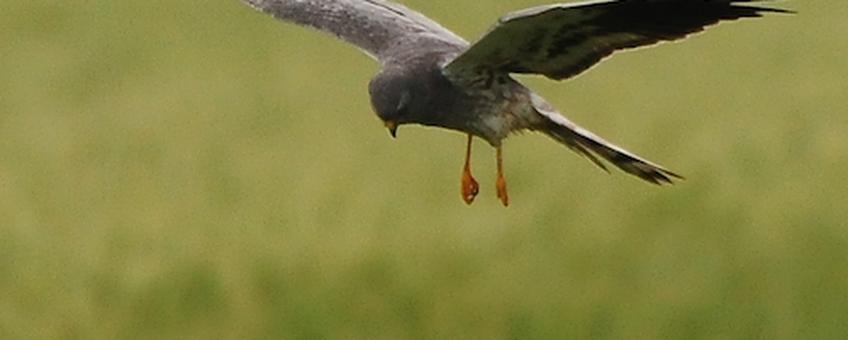 Grauwe kiekendief jagend boven faunarand